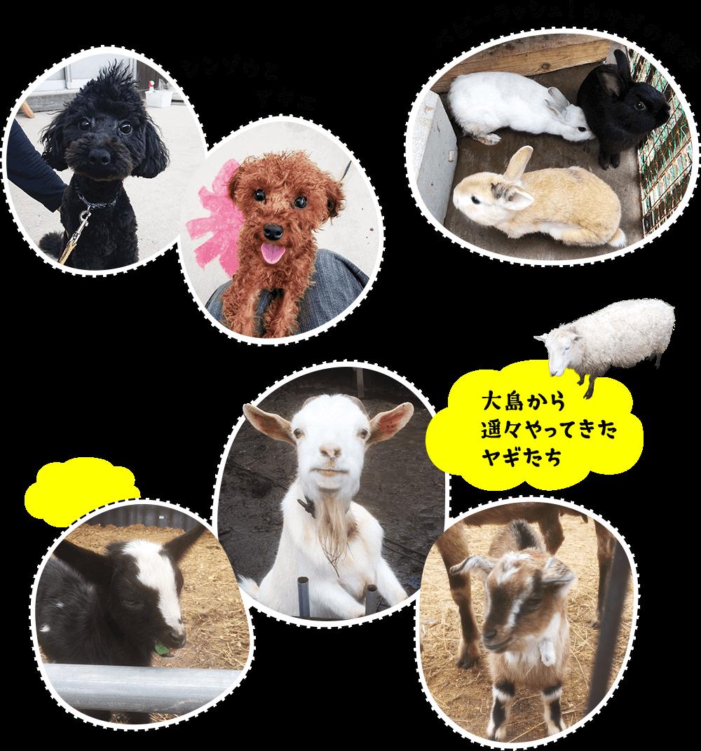 ベビーラッシュ!ウサギの家族,シンゾウとアキエ,大島から遥々やってきたヤギたち